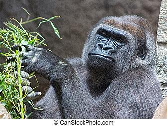 gray back gorilla eating a branch