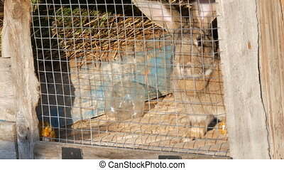 Gray big rabbit sitting in a cage in a village. - Gray big...