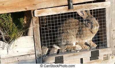 Gray big rabbit sitting in a cage in a village.