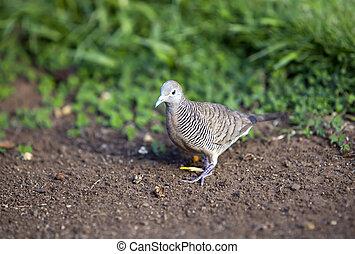 Gray bird. Tahiti