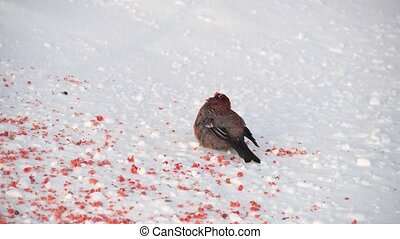 Gray bird with a red breast looking around and eat rowanberry. Bullfinch in winter time.