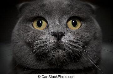 Gray british cat