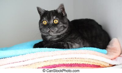 gray British cat lies on clean towels in closet - gray...