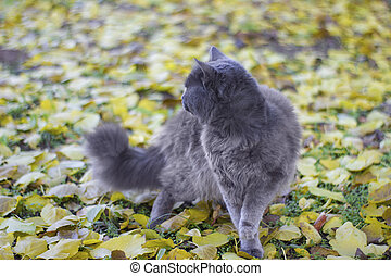 Gray british cat on background of yellow apricot leaves - outdoors