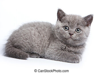 Gray British kitten looking at the camera (isolated on white)