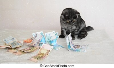 gray British kitten playing with a Russian paper money