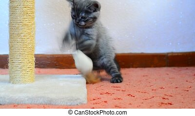 Gray british kitten playing with toy and scratching post -...
