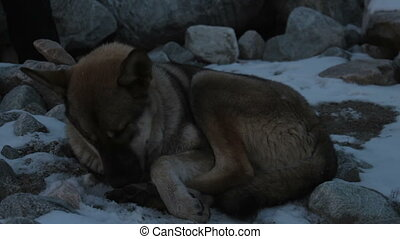 Gray-brown dog lying in the snow and licking paws