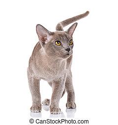 gray burmese cat portrait
