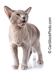 burmese cat standing on a white background with open mouth