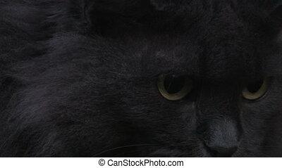 cat - gray cat, close-up
