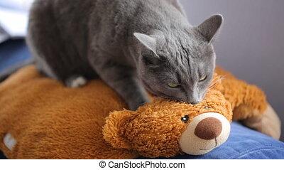 Gray cat doing massage to a teddy bear