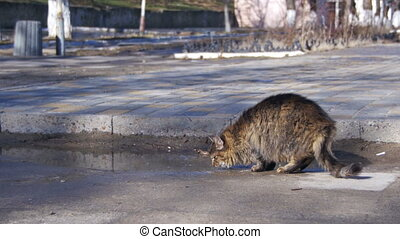 Gray Cat Drinks Water from Puddles on the Street in Early...