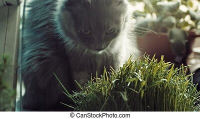 Gray cat eating green grass from a pot on the windowsill -...