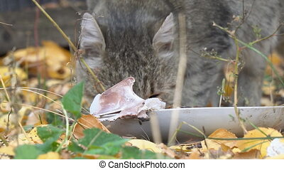 Gray Cat eating its food on the background of autumn leaves