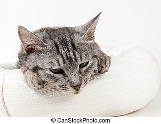 gray cat in a stool on a white background