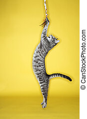 Gray cat jumping attacking toy. - Gray striped cat jumping...