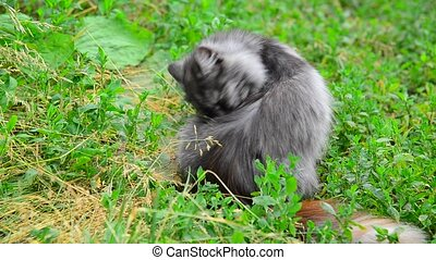 Gray cat licking Wool on nature - gray cat licking Wool on...