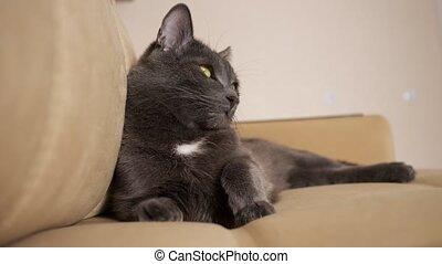 gray cat lies on a beige sofa close up