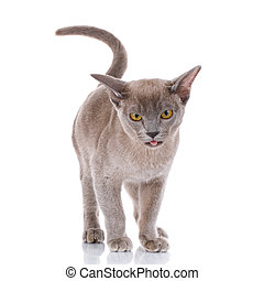 gray cat on white background with open mouth shows tongue