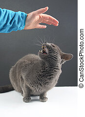 gray cat responds aggressively to a person's desire to stroke it