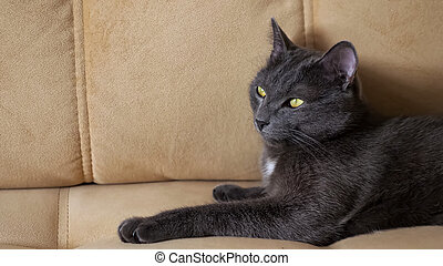 Gray cat rolls over on a beige sofa in