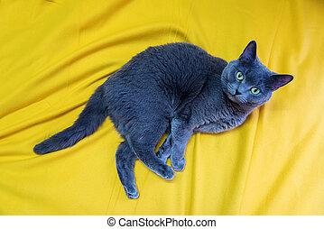 Gray cat, Scottish Stride, lies on a mustard-yellow blanket.