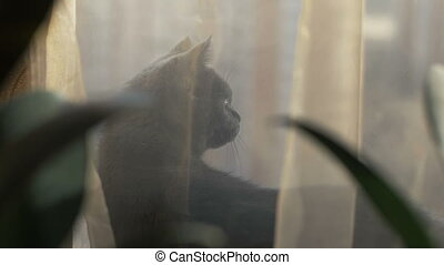 Gray cat sitting behind transparent curtains on windowsill...