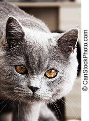 Gray cat - Portrait of gray shorthair British cat with...