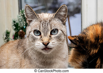 Gray cat with blue eyes, close up portrait
