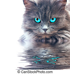 Gray cat with blue eyes reflecting in wster