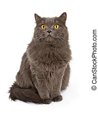 Gray cat with yellow eyes isolated on white