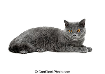 gray cat with yellow eyes isolated on white background