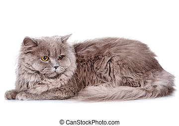 gray cat with yellow eyes on a white background