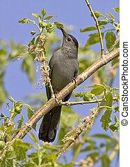 Gray Catbird - Dumatella carolinensis