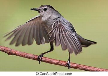 Gray Catbird Dumetella carolinensis - Gray Catbird...