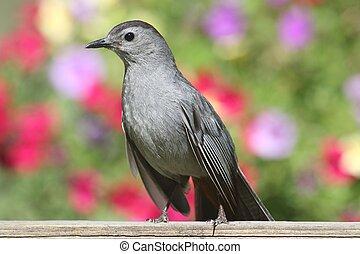 Gray Catbird Dumetella carolinensis - Gray Catbird (...