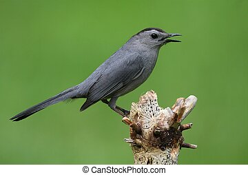 Gray Catbird (Dumetella carolinensis) on a branch with a green background