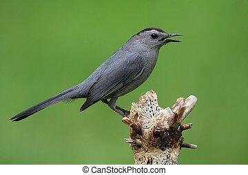 Gray Catbird (Dumetella carolinensis) on a branch with a...