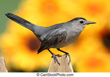 Gray Catbird (Dumetella carolinensis) on a fence with flowers and a colorful background of sunflowers