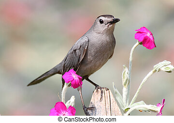 Gray Catbird (Dumetella carolinensis) on a fence with...