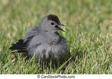 Gray Catbird (Dumetella carolinensis) on a log - Gray...