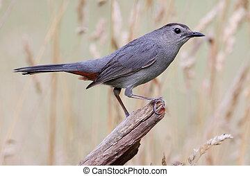Gray Catbird (Dumetella carolinensis) on a log in a field