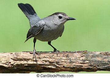 Gray Catbird (Dumetella carolinensis) on a perch with a...