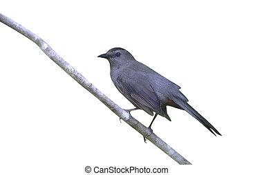 Gray catbird, Dumetella carolinensis, single bird on branch