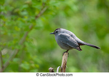 Gray Catbird perched on a branch.