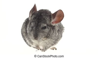 Gray chinchilla chewing black sunflower seed on white...