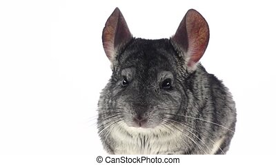 Gray chinchilla chewing food for animals, white background. Slow motion