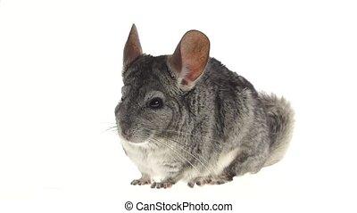 Gray chinchilla chews tasty pet food on white background. Closeup