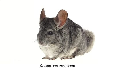 Gray chinchilla chews tasty pet food on white background....